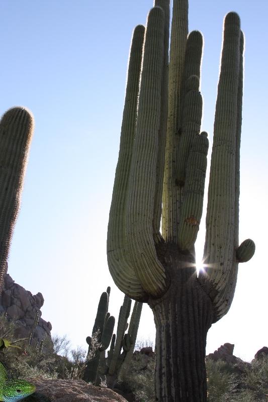 картинка с кактусом